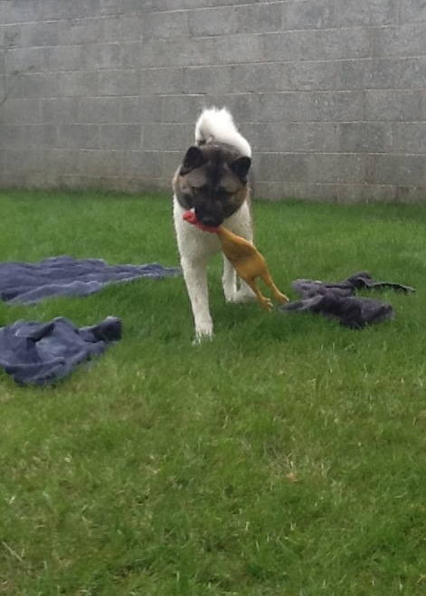 akita with rubber chicken.jpg