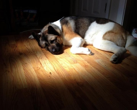 American Akita sleeping in the sun.jpg