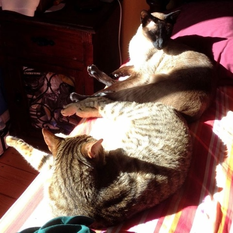 Bengal and Siamese cats in the sun.jpg