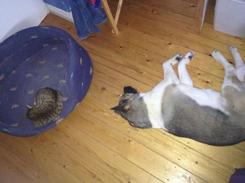 cat in big dog bed.jpg