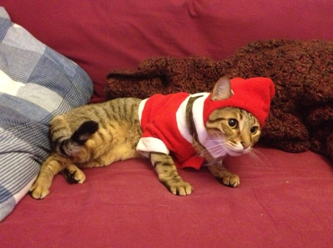 Bengal in a Santa hat-211635.jpg