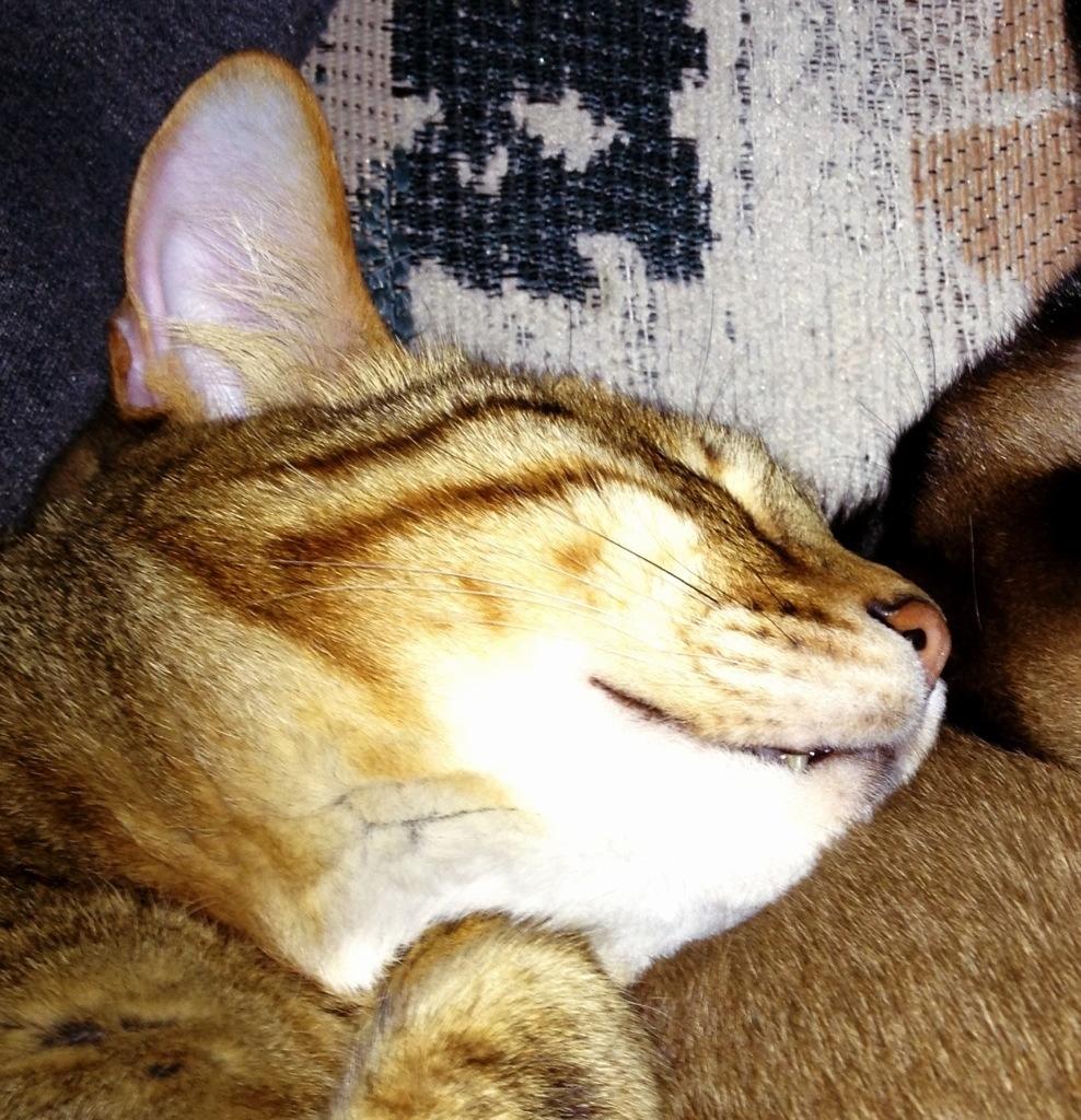 Buy bengal cat ireland