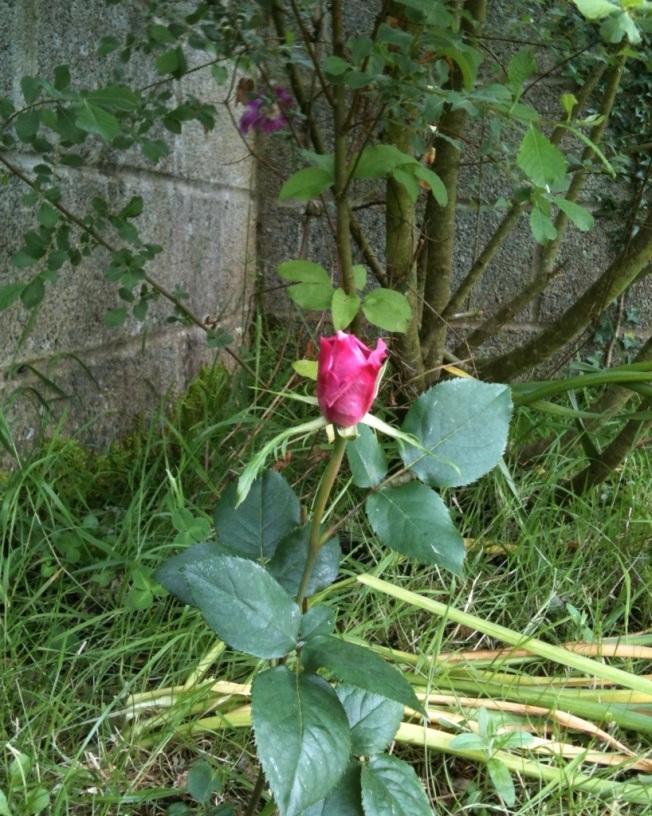 lavender rose.jpg