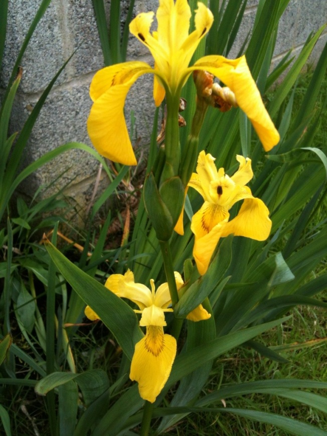 Irish yellow iris.jpg