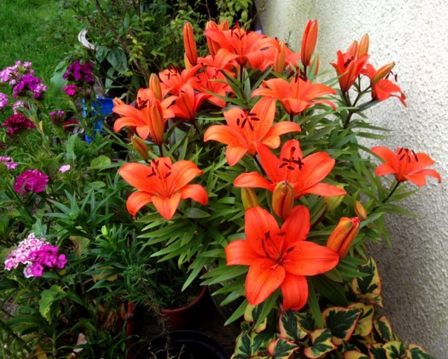 orange day lilies.jpg