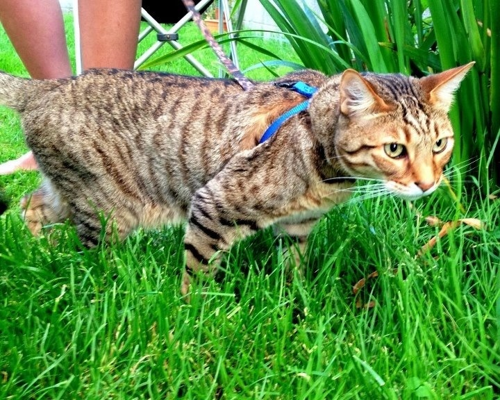 Kitten Always Attacking Older Cat