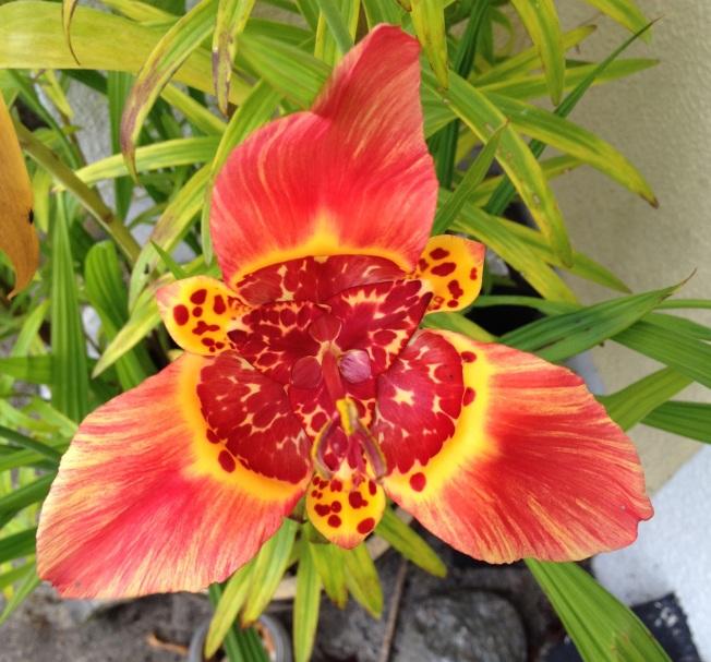 Yellow orange striped tigridia 3.JPG