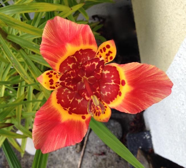 Yellow orange striped tigridia 2.JPG