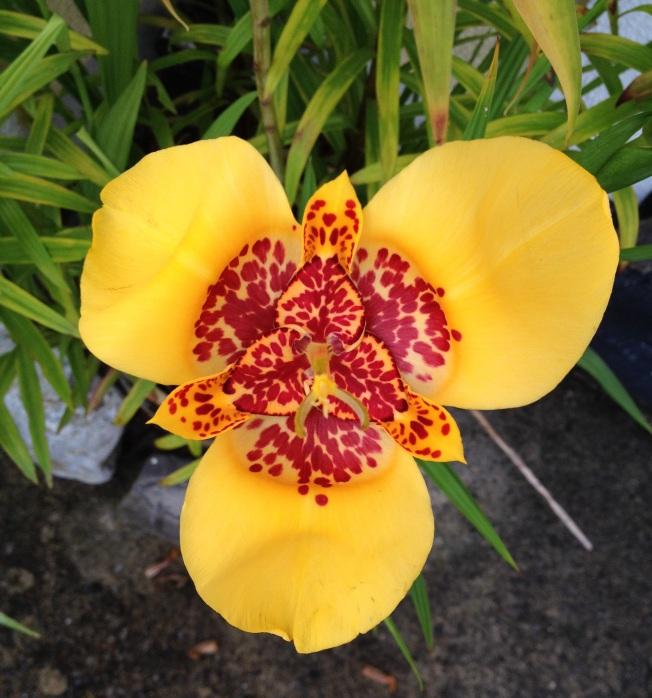 bright yellow tigridia.JPG