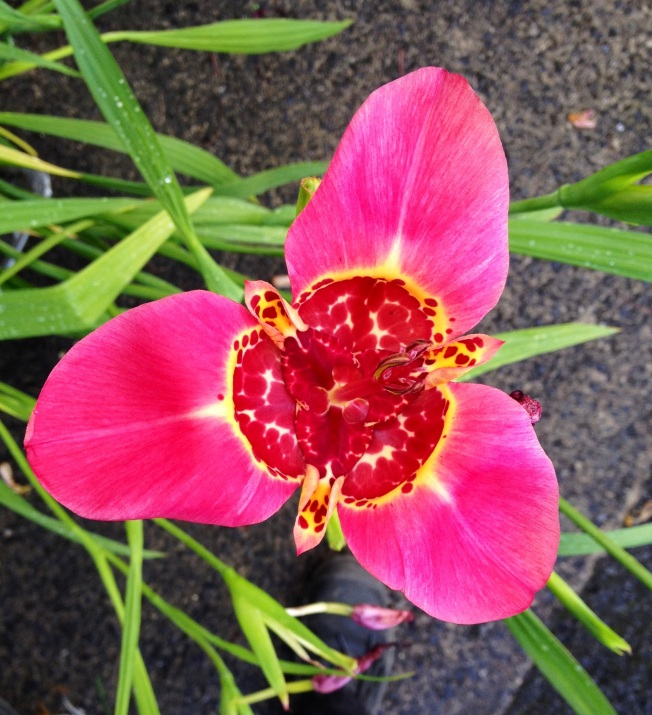 pink tigridia.JPG